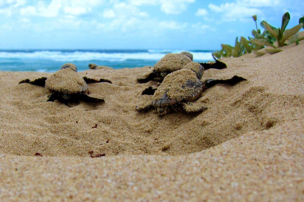 Baby schildpadden kruipen uit hun ei en zijn onderweg naar de zee.