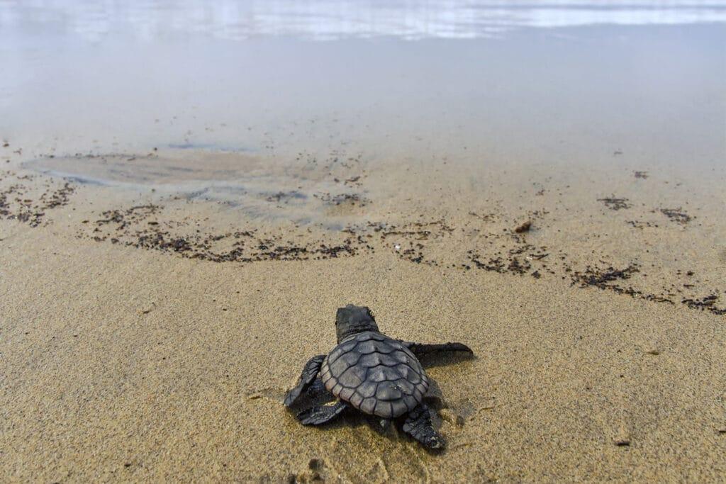Een baby schildpad op het strand van Kaapverdië