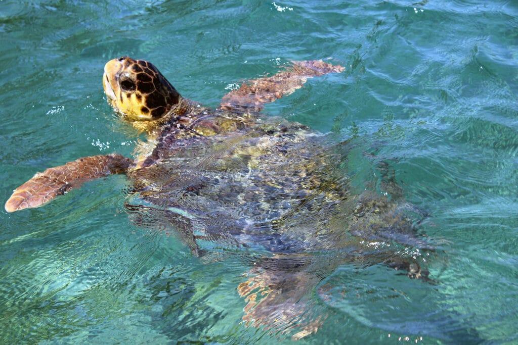 De onechte karetschildpad aan het zwemmen in de zee nabij Kaapverdië