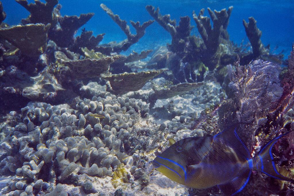 Snorkelen in Kaapverdie, een Koningstrekkervis (Balistes Vetula) tussen het koraal.