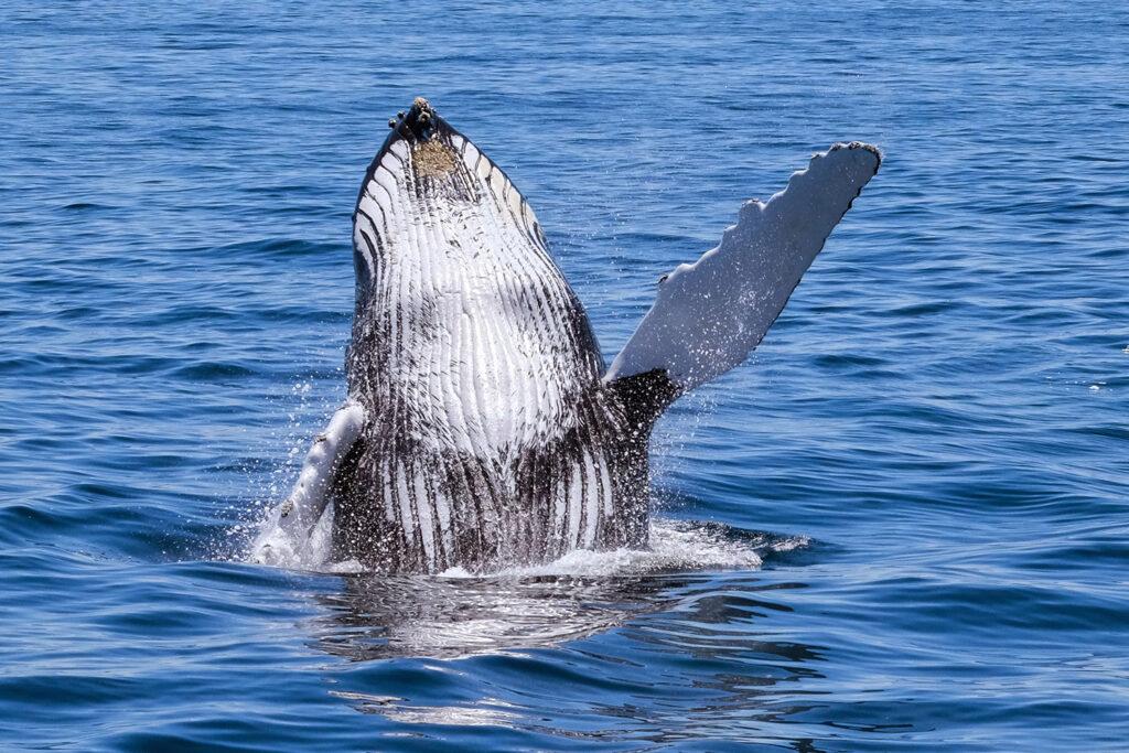Walvis Kaapverdië komt uit het water